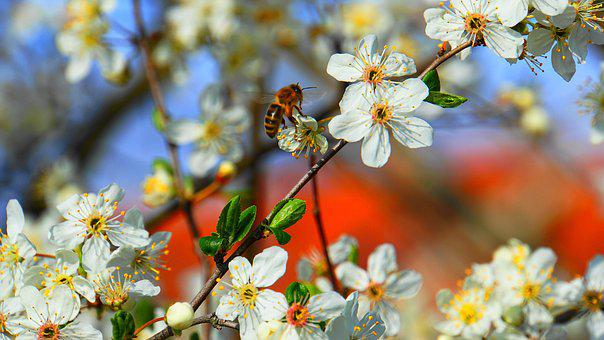 Honey Bee, Bee, Honey, Flowers, Spring, Insect, Nature
