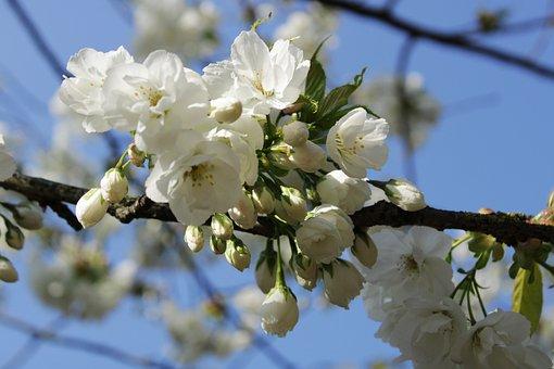 Japanese Cherry Trees, Flowers, White, Flower Tree