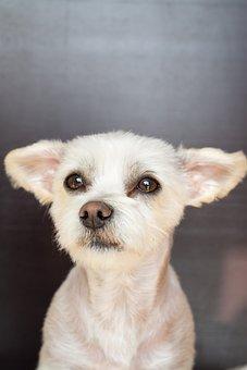 Dog, Hybrid, White, Maltese-havanese, Dog Head, Cute
