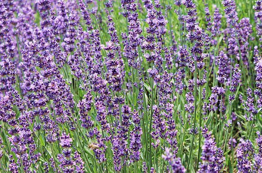 Lavender, Lavender Field, Purple, Much, Flowers, Nature