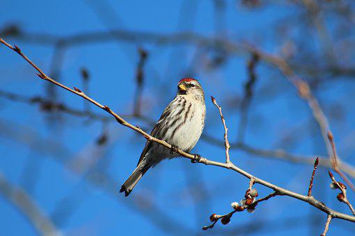 Bird, Common Redpoll, Nature, Animal, Branch, Perched
