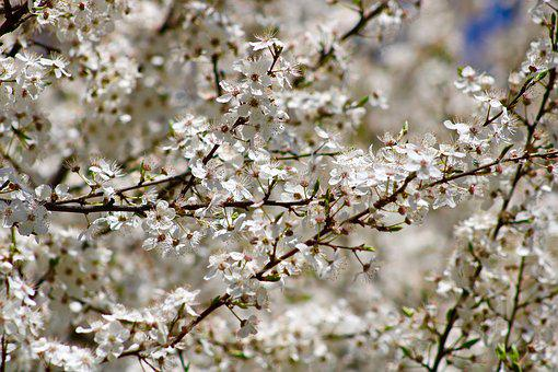 Flowers, Cherry, Tree, Spring, Branch, Nature