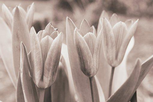 Tulips, Flower, Nature, Black And White, Flowers, Tulip