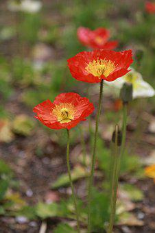 Poppy, Flowers, Wildflower, Plants, Nature