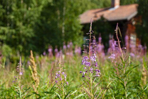 Rallarros, Weeds, Flower, Sweden, Nature, Plant, Color