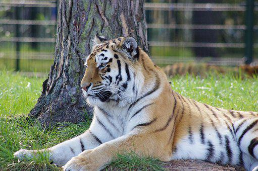 Tiger, Tiger In The Sun, The Tiger, Nature, Zoo, Animal