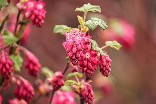 Currant, Ornamental Shrub, Corpuscle, Red, Bloom