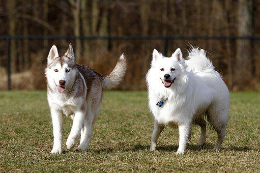 Dogs, American Eskimo, Pet, Animal, Cute, White