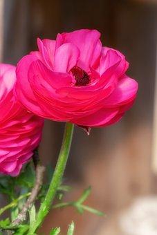 Ranunculus, Flower, Blossom, Bloom, Pink, Spring