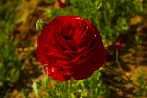 Rosa, Red, Roses, Love, Flowers, Flower, Plant