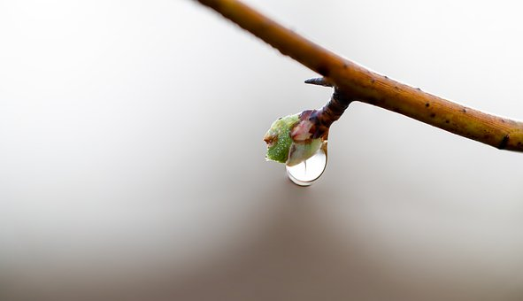 Bud, Drip, Drop Of Water, Raindrop, Plant, Flower