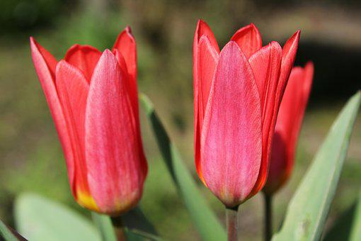 Tulips, Green Flower, Nature, Flowers, Tulip, Red
