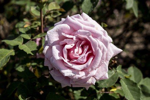 Rosa, Flower, Flowers, Nature, Roses, Spring