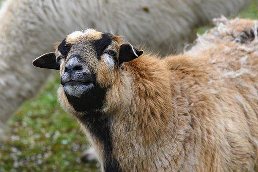 Sheep, Animal, Mammal, Ruminant, Animal World, Cattle
