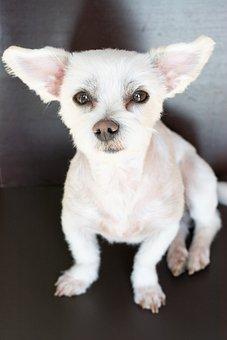 Dog, White, Small, Cute, Sweet, Maltese-havanese