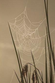 Sunrise, Misty, Reeds, Spiderweb, Dew, Morning, Early
