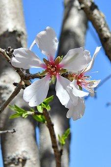Spring Flower, Spring, Kikelet Pansio, Nature, Flowers