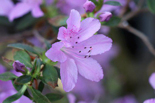 Flower, Azalea, Lilac, Spring, Bloom, Nature, Flowers