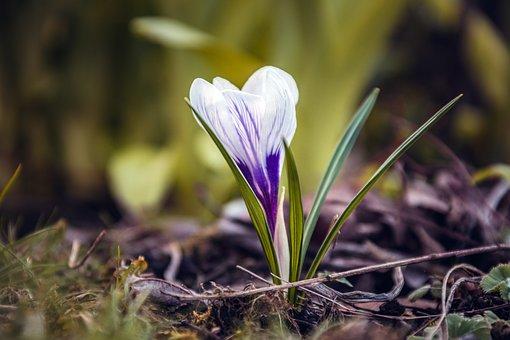Crocus, Flower, Meadow, Nature, Spring, Plant, Blossom
