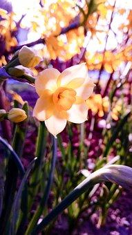 Narcissus, Flower, Garden, Afternoon, Buds, Spring