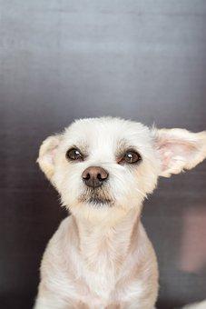 Dog, White, Small, Sweet, Maltese-havanese, Hybrid