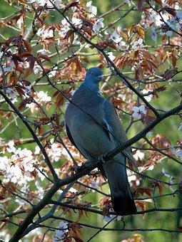 Columba Palumbus, Dove, Tit Crested, Crested, Bird