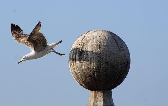 Seagull, Common, Flight, Bird, Water, Nature, White