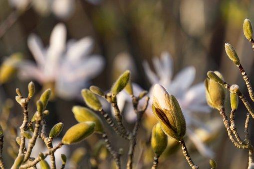 Magnolia, Blossom, Bloom, Bloom, White, Nature