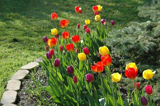 Flower, Garden, Bloom, Red, Yellow, Tulips