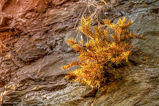 Plant, Conifer, Dry, Stone, Stone Wall, Nature, Yellow
