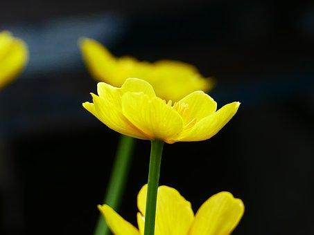 Marsh Marigold, Flower, Spring, Flowers, Yellow