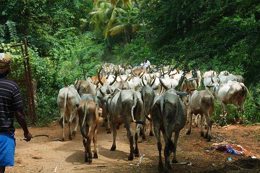 Cattle, Farmer, Cows, Livestock, Animal, Beef, Farm