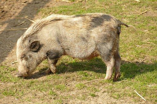 Big, Pig, Hog, Potbellied Pig, Young, Fauna