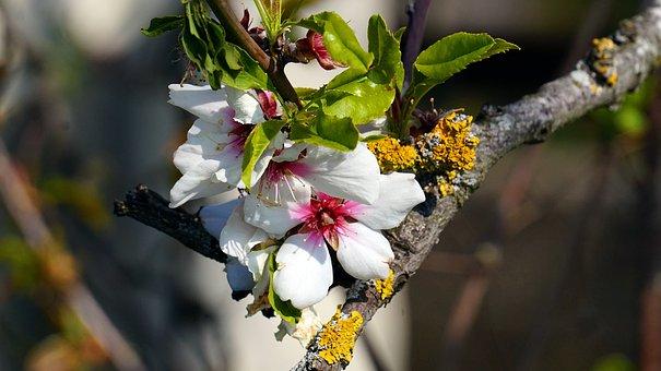 Cherry Tree, Blossom, Bloom, Cherry Blossom, Tree