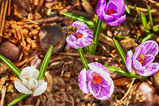 Wasp, Insect, Crocus, Flowers, Blossom, Nature, Spring