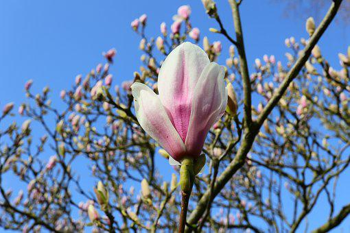 Magnolia, Bud, Spring, Nature, Pink, Plant, Tree