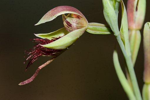Orchid, Wildflower, Australia, Calochilus Grandifloras