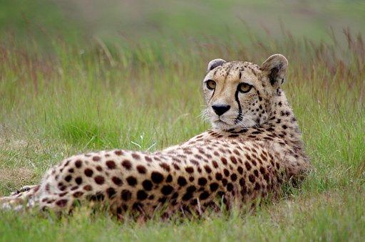 Feline, Cheetah, Leopard, Cheetahs, Predator, Nature