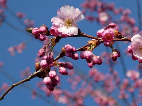 Japanese Cherry Trees, Cherry Blossom, Flower, Branch