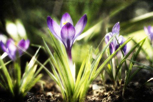 Crocus, Violet, Green, Spring, Figure, Krokus, Blooming