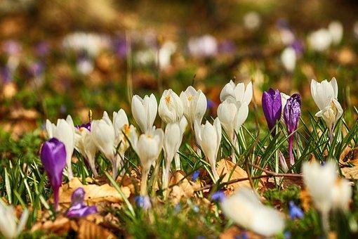 Crocus, Flowers, Blossom, Nature, Spring, Plant