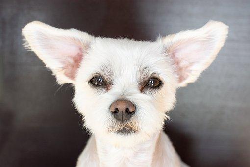 Dog, White, Ears, Dog Look, Maltese-havanese, Hybrid