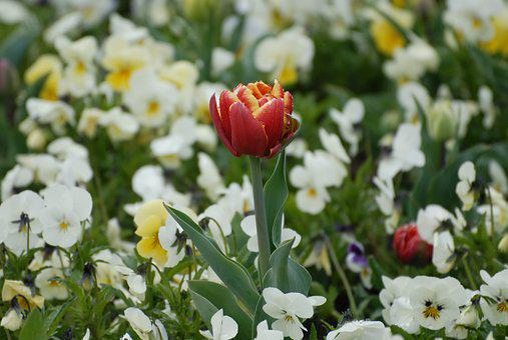 Tulip, Garden, Spring, Flowers, Color, Floral, Red