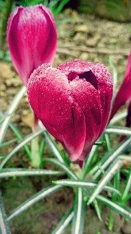 Crocus, Garden, Fuchsia, Flowers, Wather Drops, Spring