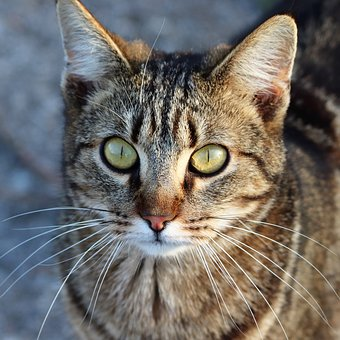 Tiger Cat, Pet, Head, Green Eyes, Moustaches, Sweet