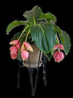 Medinilla, Flower, House Plant, Stueblomst