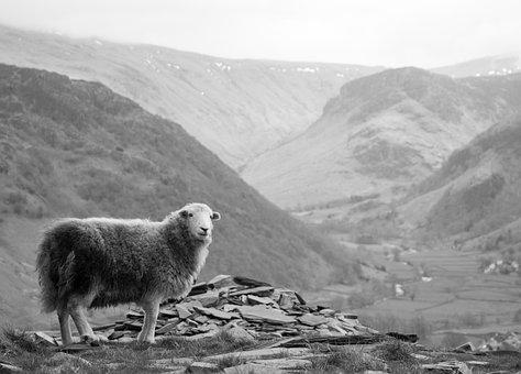 Sheep, Landscape, Mountain, Lake, District