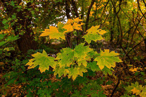 Leaves, Maple Leaf, Autumn, Maple, Leaf, Nature