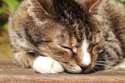 Cat, Mackerel, Domestic Cat, Pet, Cat Face, Sleep