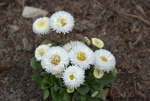 Daisy, White, Yellow, Flower, Figure, Macro, Plant